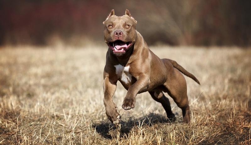Diese Tiere gelten laut Hamburger Hundeverordnung immer als gefährlich: American Pitbull Terrier